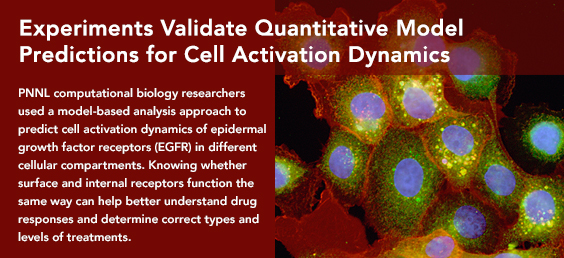 Experiments Validate Quantitative Model Predictions for Cell Activation Dynamics