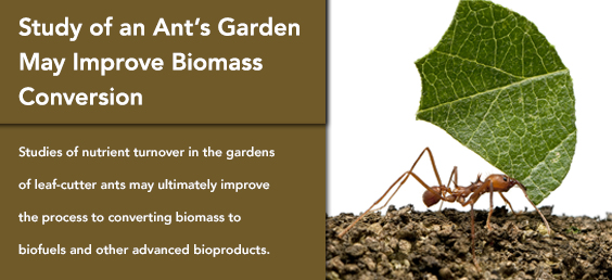 Study of Ant's Garden May Improve Biomass Conversion