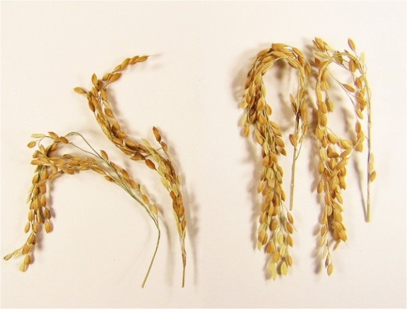SUSIBA2 Rice Comparison