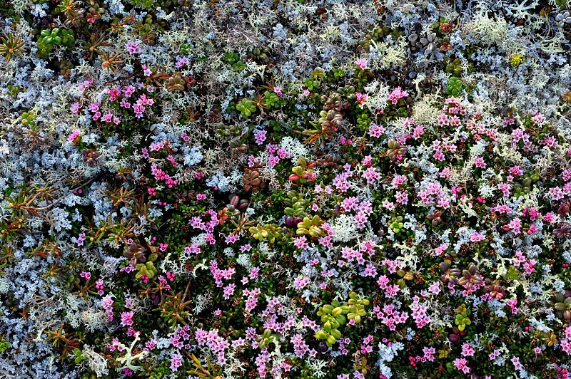 changes in climate can affect tundra plants