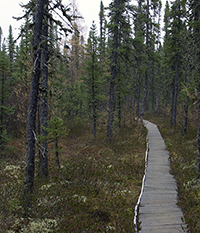Old spruce forest in Canada