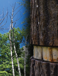 girdled trees in dying forest