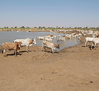 Herd of cattle at a watering hole
