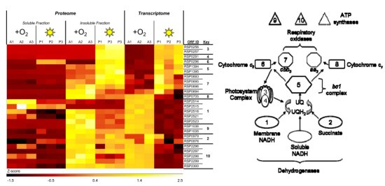 Heat map comparison between proteins observed in R. sphaeroides aerobic