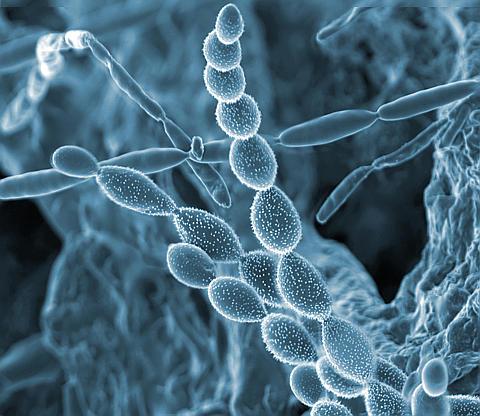 Microscopic image of a microbe in the rhizosphere