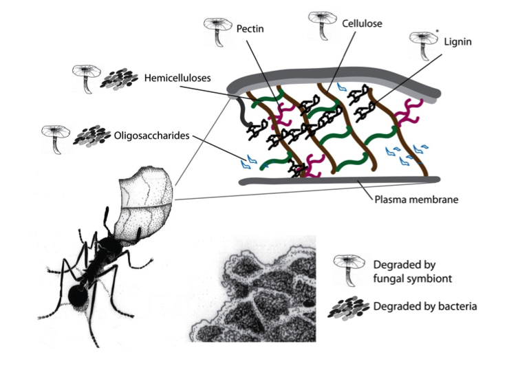 Plant polymer degradation in the leaf-cutter ant gardens