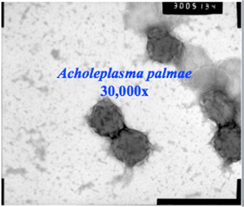 This scanning electron microscope image is of the Mollicute Acholeplasma palmae. Mollicutes are a class of bacteria found in subsurface sediments at a uranium-contaminated site in Rifle, Colorado. Mollicutes could play a significant role in remediation by adsorbing mobile uranium.
