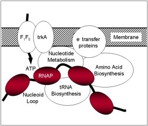 RNAP metabolic enzymes