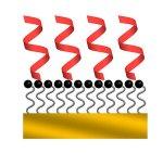Peptides form alpha helixes