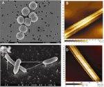 Bacterial nanowires