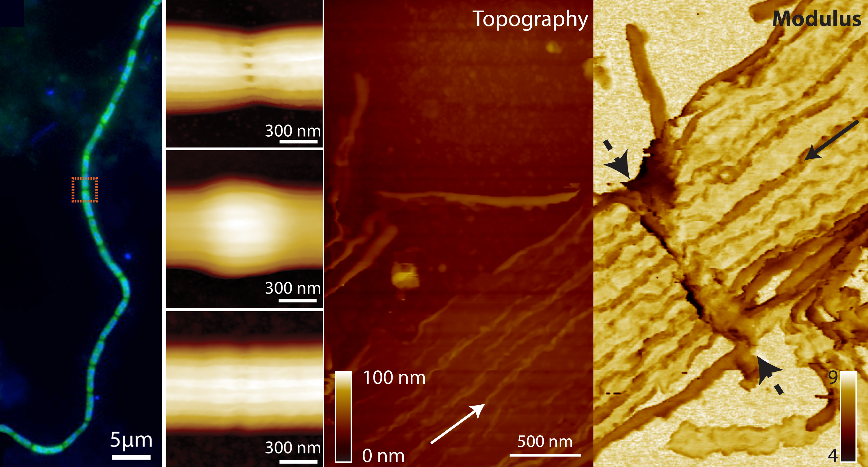 Bacterial cable under optical microscopy and map of inside of outer membrane after nanodissection