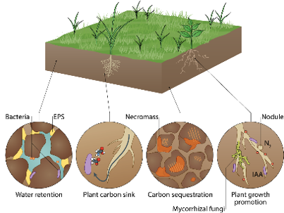 Research showed that microbial physiology largely determines the ability of soil ecosystems to adapt to climate change, and that some microbiomes may be suitable for mitigation measures such as carbon sequestration and plant inoculation.