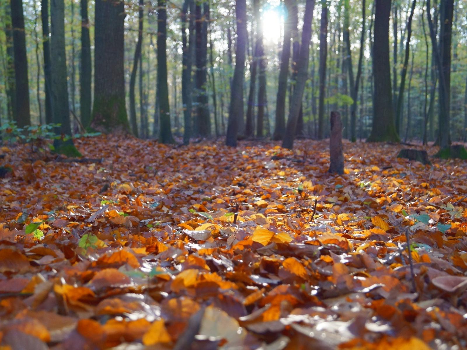 Dead leaves are a common source of carbon