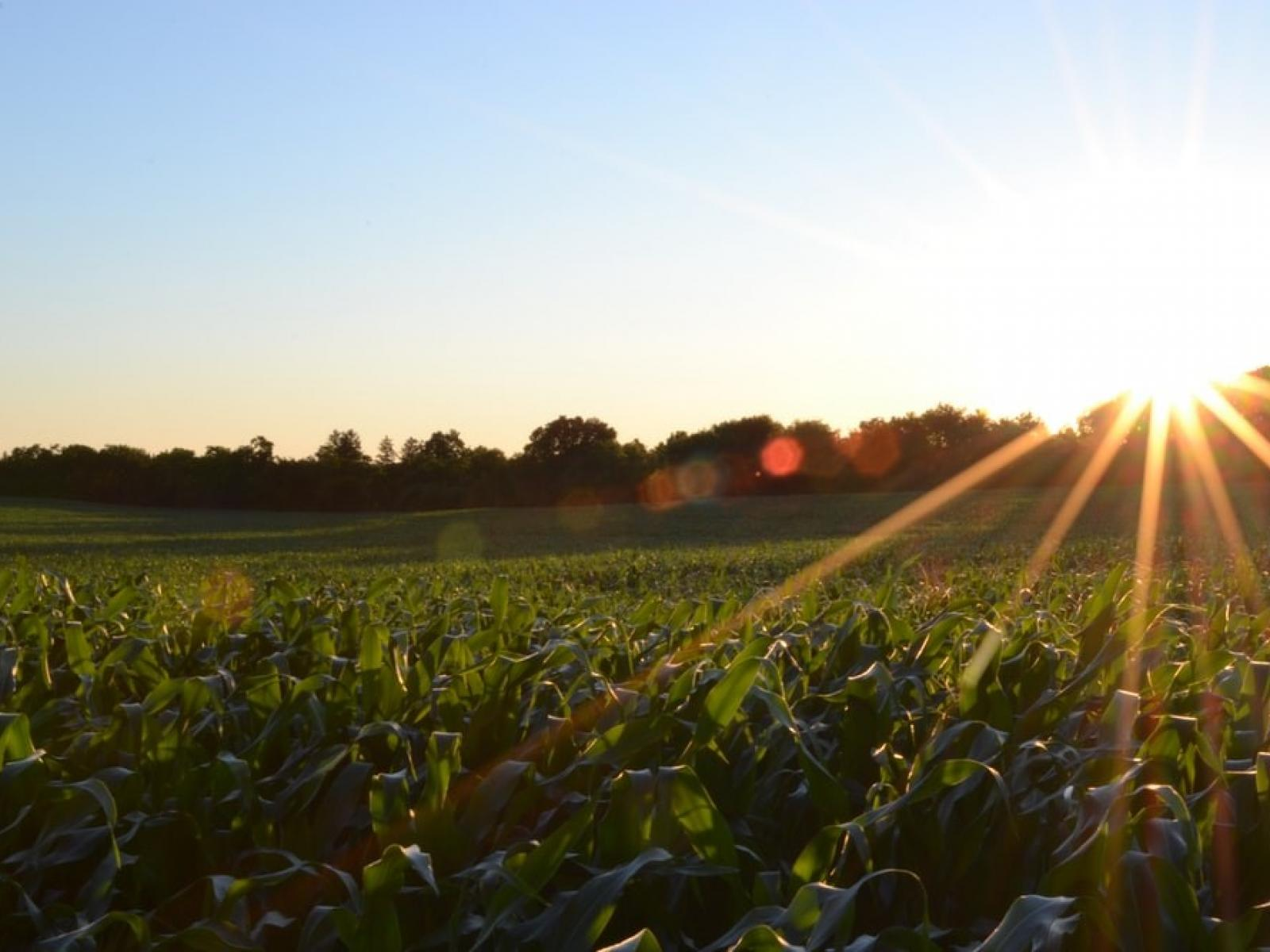 Bright sun over a field of green crops