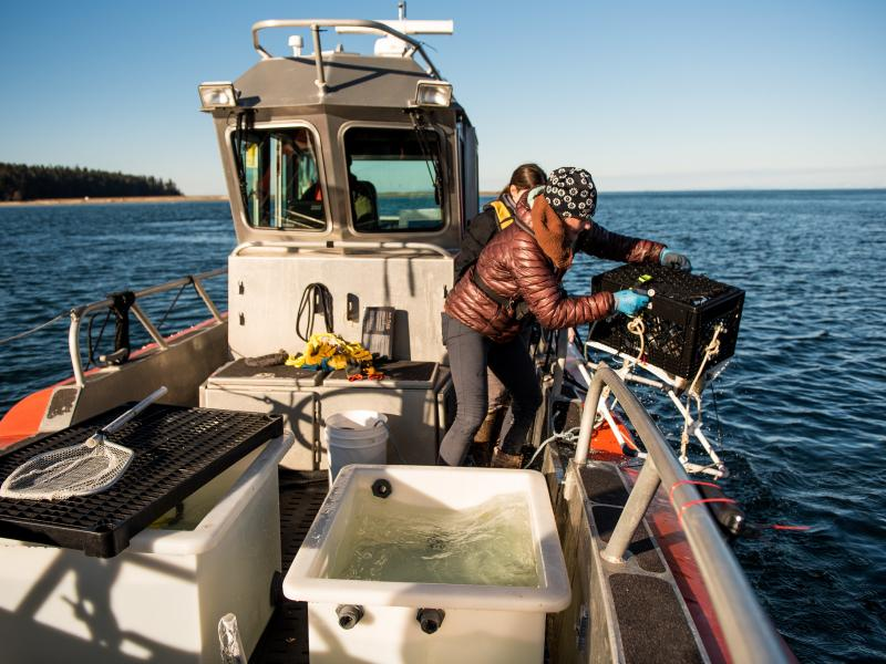 Researchers drop fish in a cage into Sequim Bay