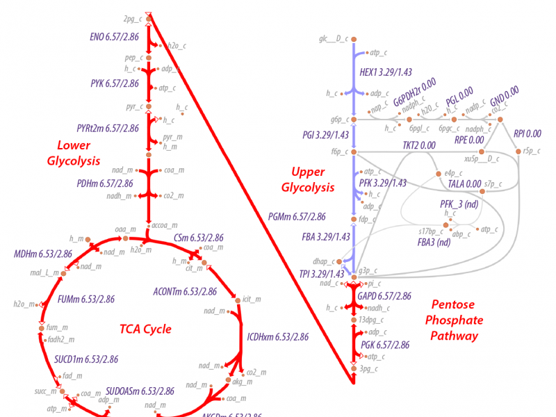 The TCA cycle.