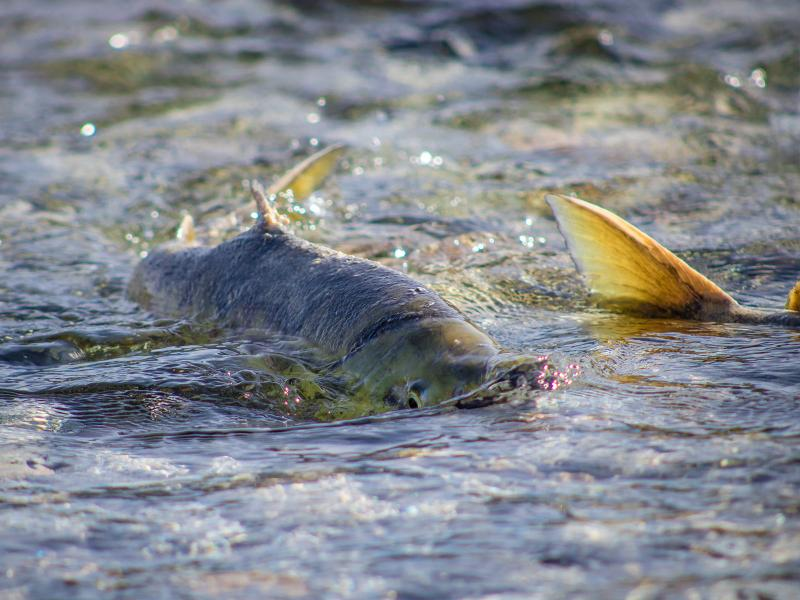 Salmon spawn within a shallow stretch of river, their fins protruding from the water's surface.