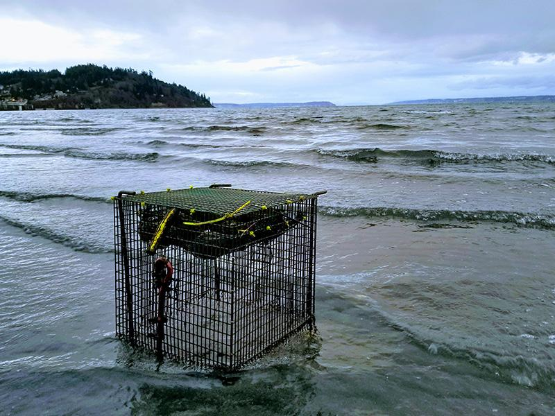 A cage securing mussels sits on the beach at Appletree Cove, where waves from the Puget Sound wash over the shellfish for research.